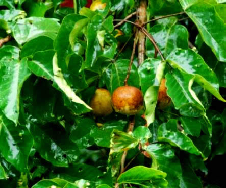 Indoor Fruit Plants ... Indoor plants, Groundcovers, Fruit Trees and more - Tropical Fruit