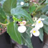 Container Plants - Cane Stemmed Begonia