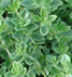 Scented Leaves Plants - Thyme