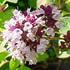 Scented Flower Plants - Oregano