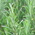 Scented Leaves Plants - Rosemary